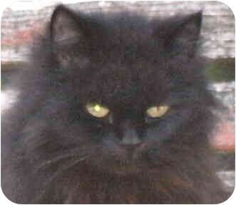 Domestic Mediumhair Cat for adoption in Crescent City, California - Cocoa