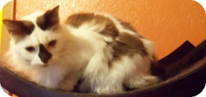 Ragdoll Cat for adoption in Ennis, Texas - Rampel