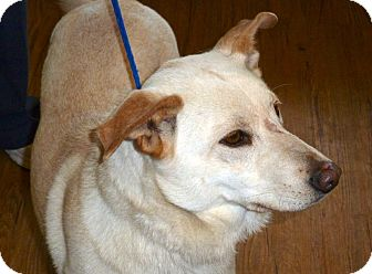 German Shepherd Dog/Labrador Retriever Mix Dog for adoption in Groton, Massachusetts - Maddie