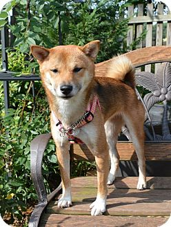 Shiba Inu Puppy for adoption in Manassas, Virginia - Sachiko