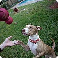 Adopt A Pet :: Dexter - Lake Worth, FL