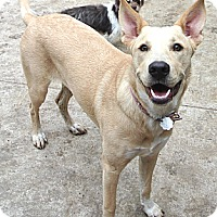 Labrador Retriever Mix Dog for adoption in Houston, Texas - Bailey-Rachel