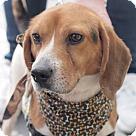 Adopt A Pet :: Louie **ADOPTION PENDING**