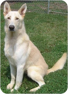 German Shepherd Dog Mix Dog for adoption in Greensboro, North Carolina - Hunter