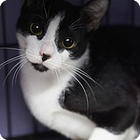 Domestic Shorthair Cat for adoption in Bronx, New York - QB