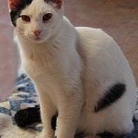 Domestic Mediumhair Cat for adoption in Savannah, Missouri - Ozzie