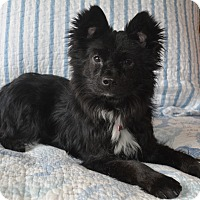 Adopt A Pet :: Spunky 12.5 lbs - Warwick, NY