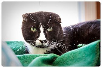 American Shorthair Cat for adoption in Middletown, New York - Colonel Mustard