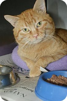 Domestic Mediumhair Cat for adoption in Kinston, North Carolina - Tin Man