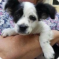 Adopt A Pet :: Baby Boy Frisky/Fresno - Baileyton, AL