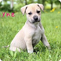 Adopt A Pet :: Layne - New Oxford, PA