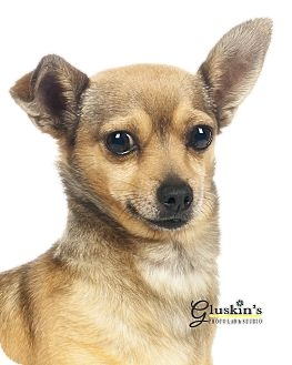 Terrier (Unknown Type, Small)/Chihuahua Mix Dog for adoption in Lodi, California - Noah