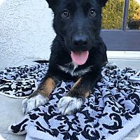 Adopt A Pet :: TamTam - Los Angeles, CA