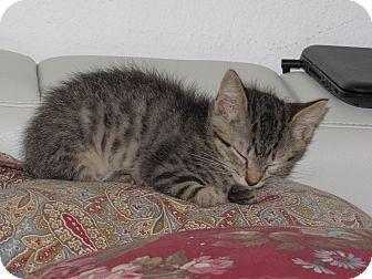Domestic Shorthair Kitten for adoption in Palm Coast, Florida - Simon