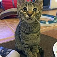 Adopt A Pet :: Majus - Mississauga, Ontario, ON