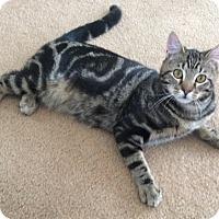 Adopt A Pet :: Zeby - Plainville, MA