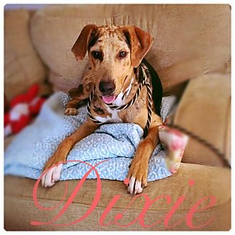 Catahoula Leopard Dog Mix Dog for adoption in Charlotte, North Carolina - DIXIE