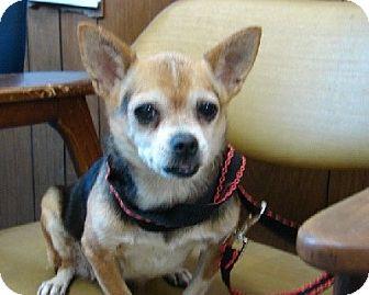 Chihuahua Mix Dog for adoption in Aurora, Illinois - Anna