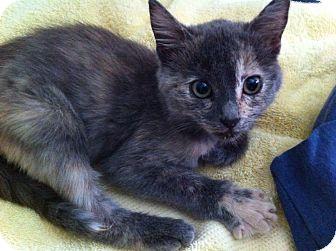 Domestic Shorthair Kitten for adoption in Brea, California - LITTLE STAR