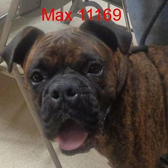 Boxer Dog for adoption in baltimore, Maryland - Max