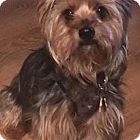 Yorkie, Yorkshire Terrier Mix Dog for adoption in Des Moines, Iowa - Bravo
