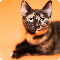 Domestic Shorthair Kitten for adoption in Cincinnati, Ohio - Kendall