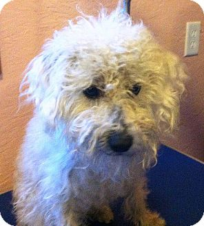 Maltese/Poodle (Standard) Mix Dog for adoption in Thompson Falls, Montana - Rhonda