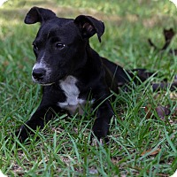 Rat Terrier/Smooth Fox Terrier Mix Puppy for adoption in Weeki Wachee, Florida - Cagne