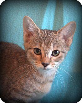Manx Kitten for adoption in Hagerstown, Maryland - Bailey