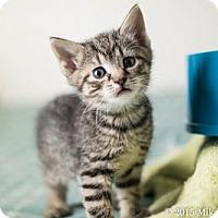 Domestic Shorthair Kitten for adoption in Philadelphia, Pennsylvania - Pollux