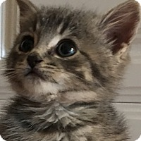 Domestic Shorthair Kitten for adoption in Bryan, Ohio - sassy