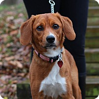 Adopt A Pet :: Gracie - Edwardsville, IL