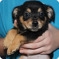 Adopt A Pet :: Baby Clarice- No Longer Accepting Applications - Potomac, MD