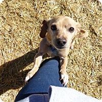 Adopt A Pet :: Areyes - Clarkdale, AZ