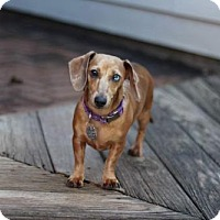 Adopt A Pet :: Ophelia - Dallas, TX