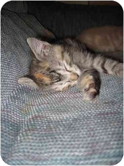 American Shorthair Cat for adoption in Little Rock, Arkansas - Enya