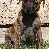 Adopt A Pet :: Reese's - Gilbert, AZ