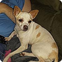 Adopt A Pet :: Lil Bit - Philadelphia, PA