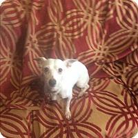 Adopt A Pet :: Bambi - Mesa, AZ