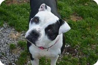American Bulldog/Boxer Mix Dog for adoption in Monroe, Michigan - Savannah