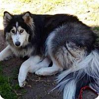 Adopt A Pet :: GRAYSON - San Antonio, TX