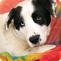 Adopt A Pet :: Willy BC Mix - St. Louis, MO