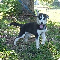 Adopt A Pet :: Noki - Bedminster, NJ