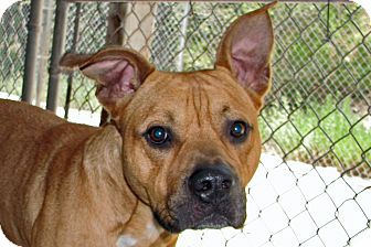 Boxer Mix Dog for adoption in Ruidoso, New Mexico - Smash