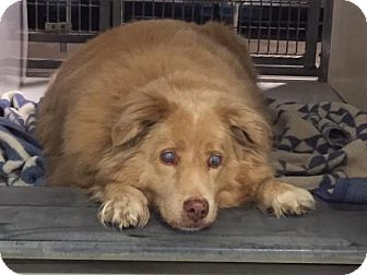 Golden Retriever Mix Dog for adoption in Denver, Colorado - Dooley