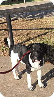 Beagle/German Shorthaired Pointer Mix Puppy for adoption in WAGONER, Oklahoma - Bonnie