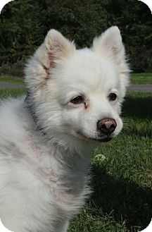American Eskimo Dog Dog for adoption in Westampton, New Jersey - Patton A33612353