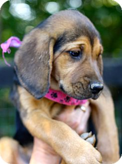 Bloodhound/Black and Tan Coonhound Mix Puppy for adoption in West Grove, Pennsylvania - Daisy