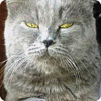 Adopt A Pet :: Blue (British Shorthair) - York, PA