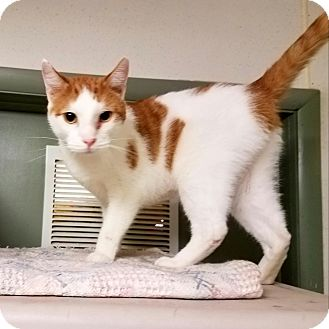Domestic Shorthair Cat for adoption in Indianola, Iowa - C-21